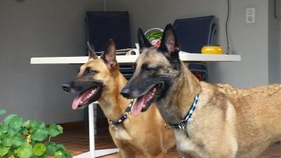 Vorne: Judy von den blauen Helden - Obedience Weltmeisterin der belgischen Schäferhunde  Hinten: Avila