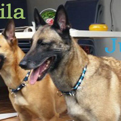 Judy von den blauen Helden - Obedience Weltmeisterin der belgischen Schäferhunde