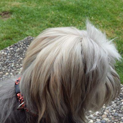 Im Hundesport aktiver Bolli von MR Kölliken